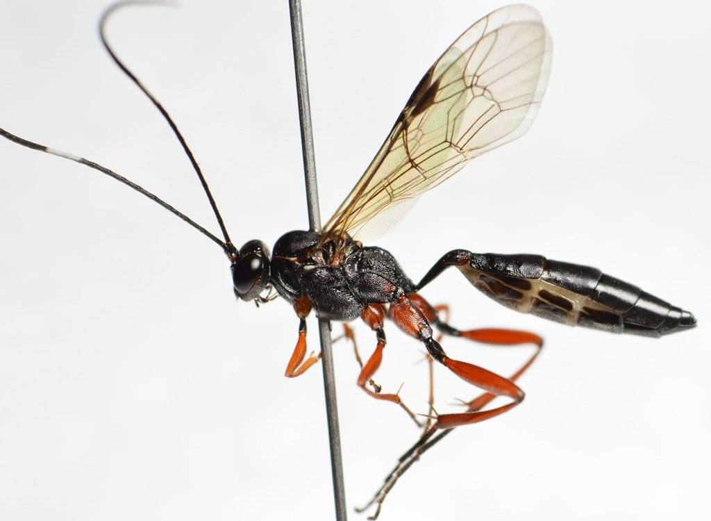 Hypomecus quadriannulatus