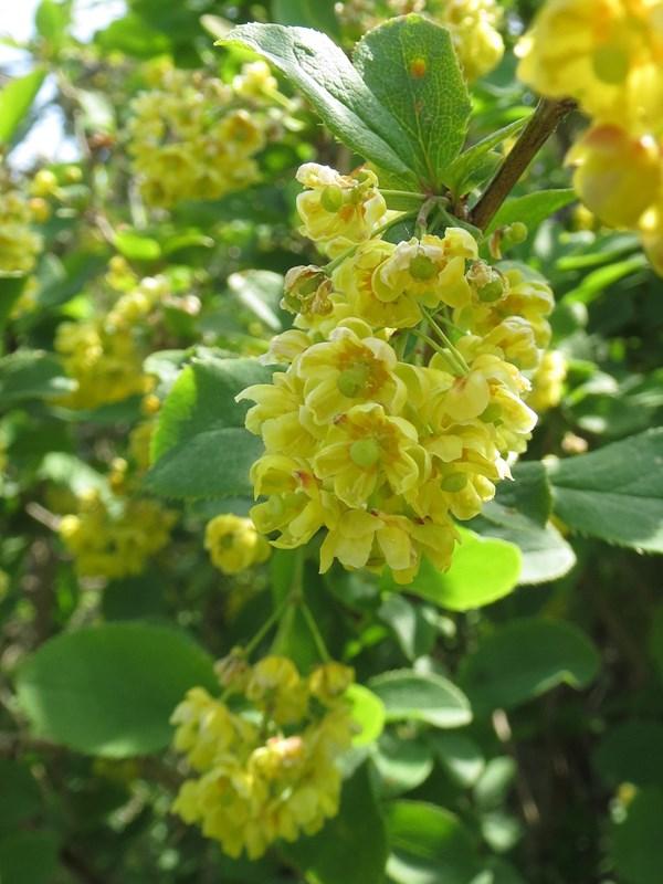 Foto/billede af Almindelig Berberis (Berberis vulgaris)