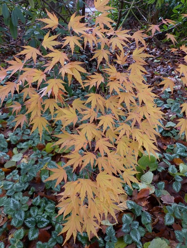 Japansk Løn (Acer palmatum)