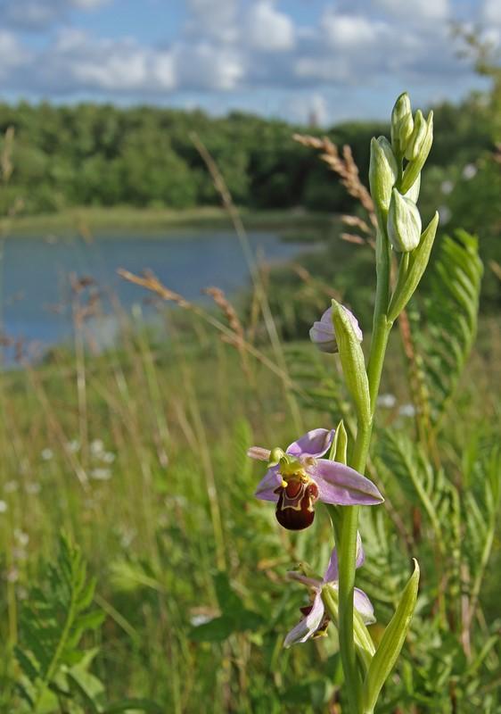 Biblomst (Ophrys apifera)