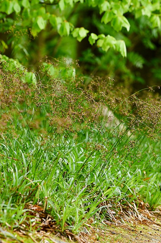 Foto/billede af Stor Frytle (Luzula sylvatica)