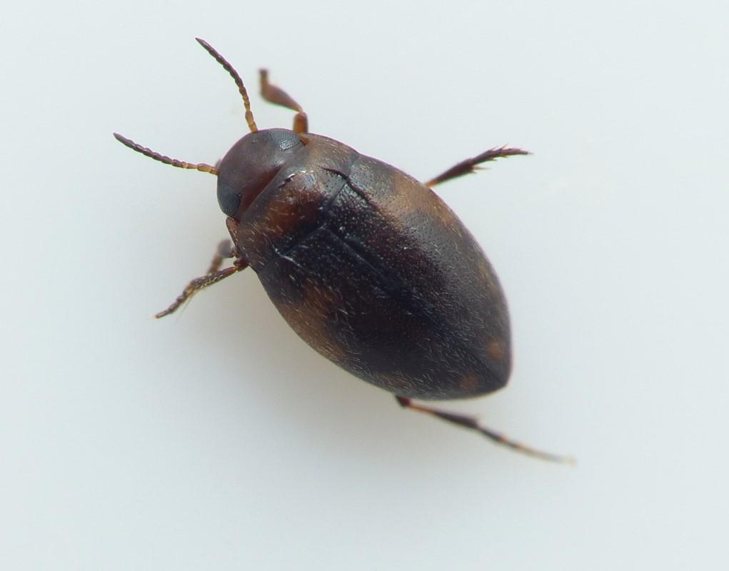 Bidessus unistriatus (Bidessus unistriatus)