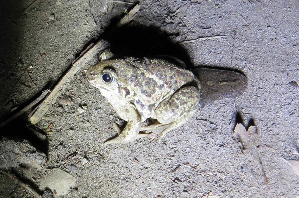 Foto/billede af Løgfrø (Pelobates fuscus)