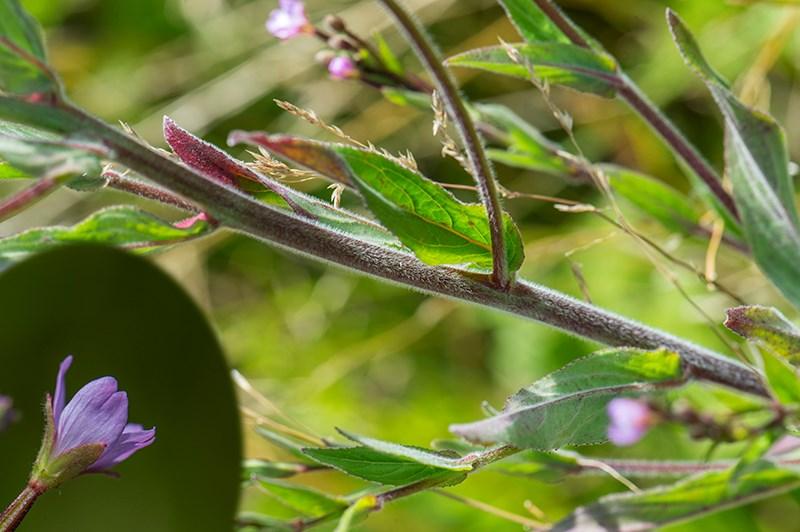 Foto/billede af Dunet dueurt (Epilobium parviflorum)