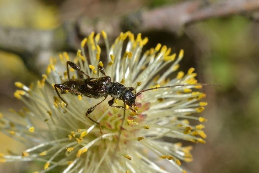 Foto/billede af Fluebuk (Molorchus minor)
