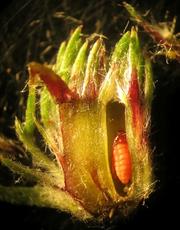 Rhopalomyia tubifex