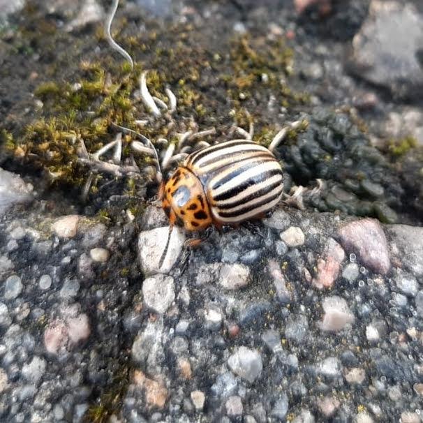 Coloradobille (Leptinotarsa decemlineata)