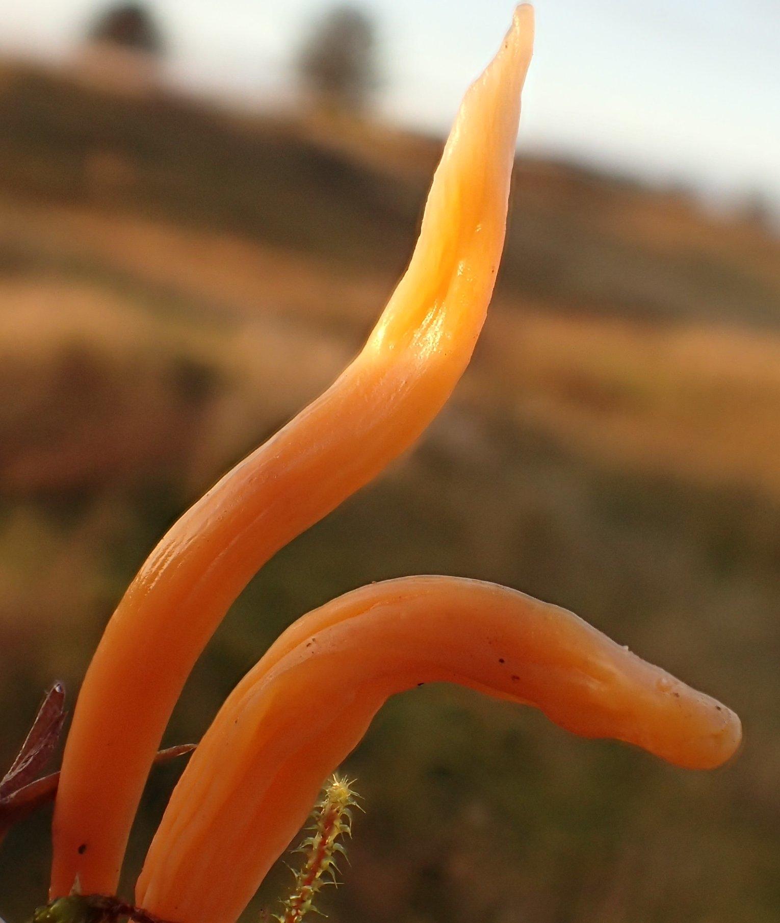 Foto/billede af Abrikos-Køllesvamp (Clavulinopsis luteoalba)