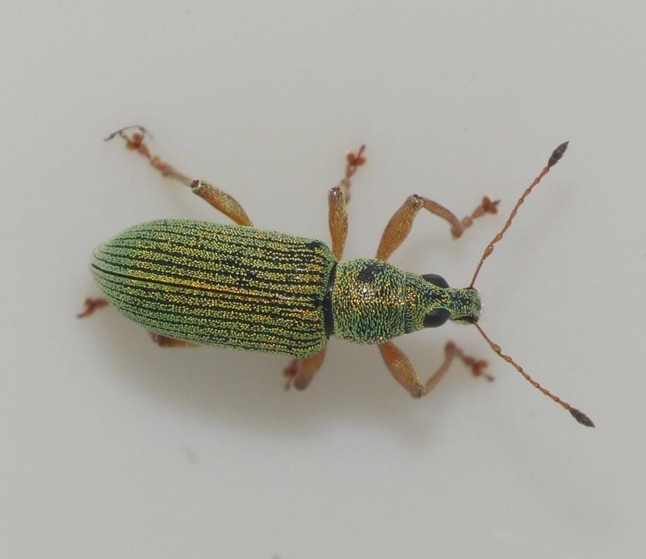 Foto/billede af Polydrusus formosus (Polydrusus formosus)