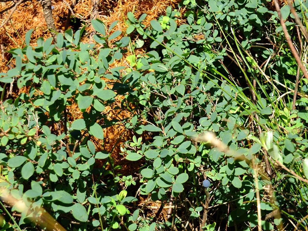 Foto/billede af Mose-b�lle (Vaccinium uliginosum)