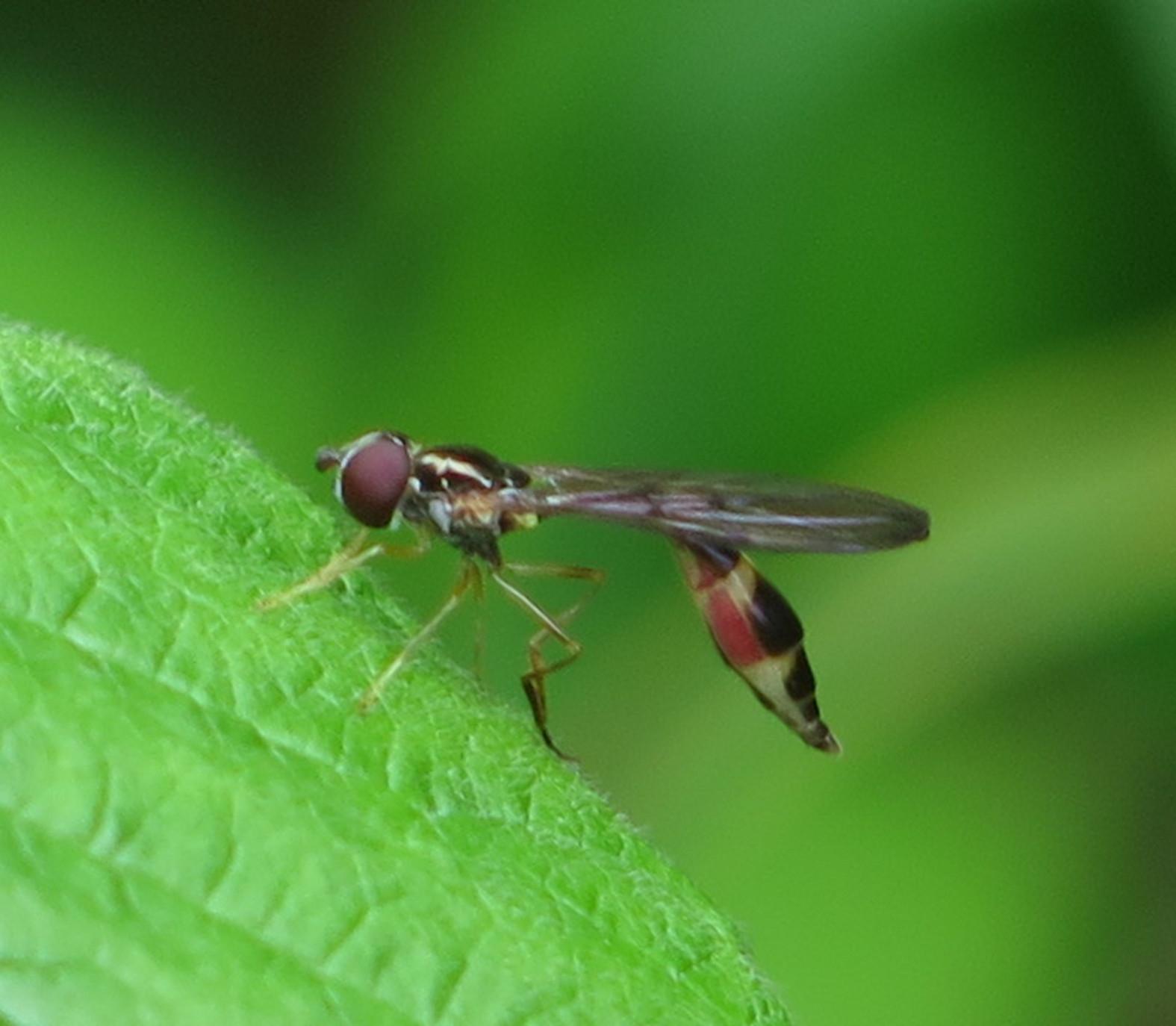 Foto/billede af Mat spydsvirreflue (Baccha elongata)