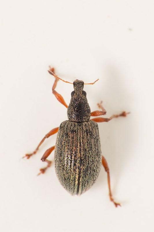 Foto/billede af Blodsnudebille (Polydrusus mollis)