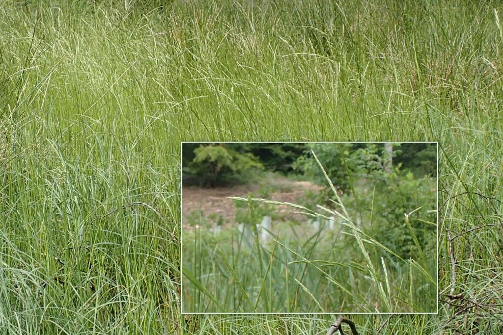Manna-Sødgræs