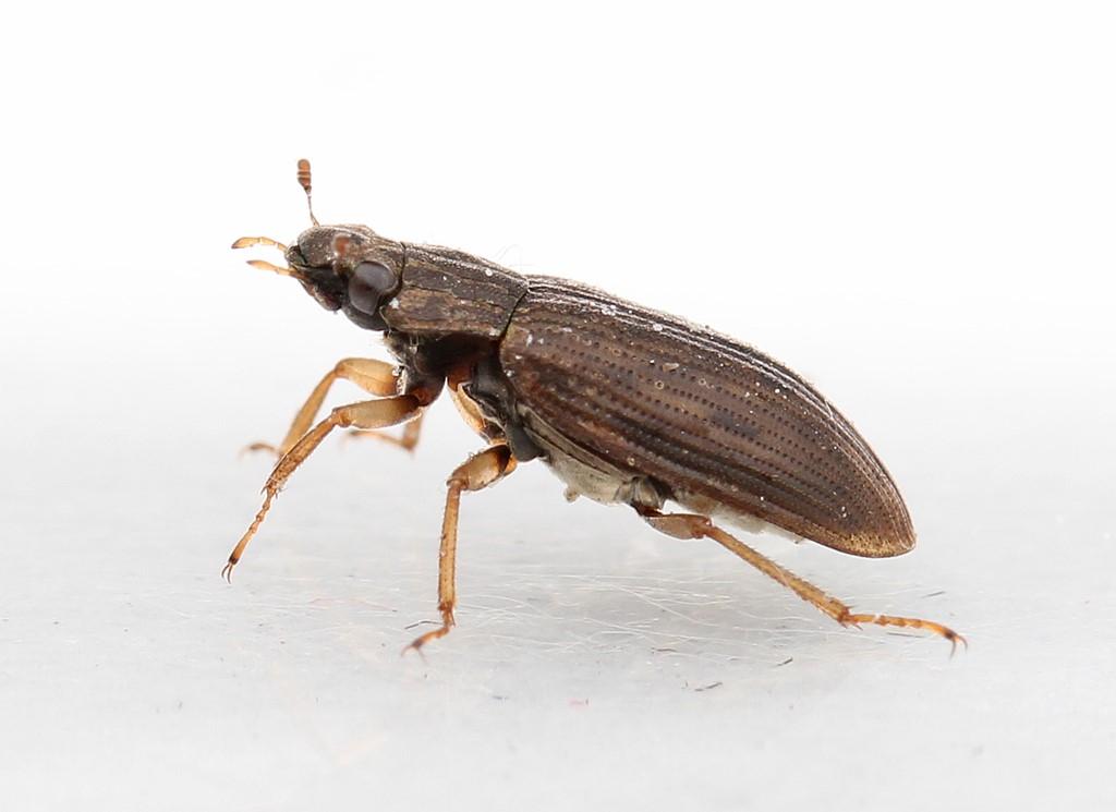 Helophorus aequalis
