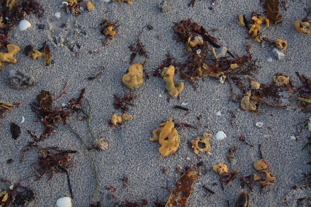 Brødkrummesvamp (Halichondria panicea)