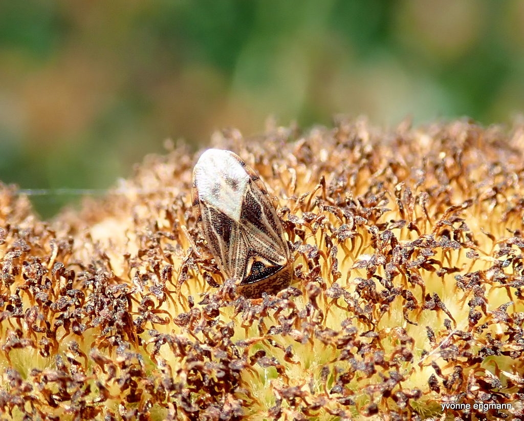 Dunhammertæge (Chilacis typhae)