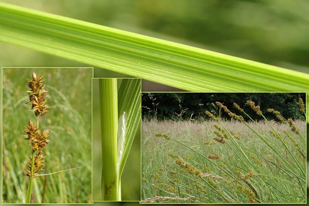 Foto/billede af Sylt-Star (Carex otrubae)