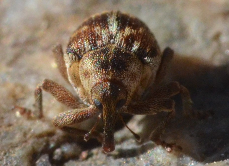 Coeliodes ruber