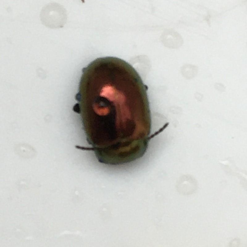 Ertsfarvet Guldbille (Chrysolina brunsvicensis)