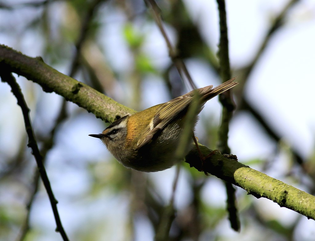 Foto/billede af Rødtoppet Fuglekonge (Regulus ignicapilla)