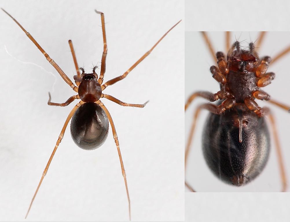 Foto/billede af Diplostyla concolor (Diplostyla concolor)