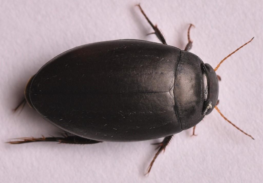 Foto/billede af Agabus bipustulatus (Agabus bipustulatus)
