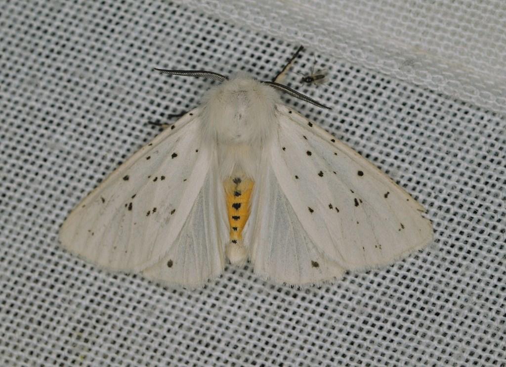 Almindelig Tigerspinder (Spilosoma lubricipeda)