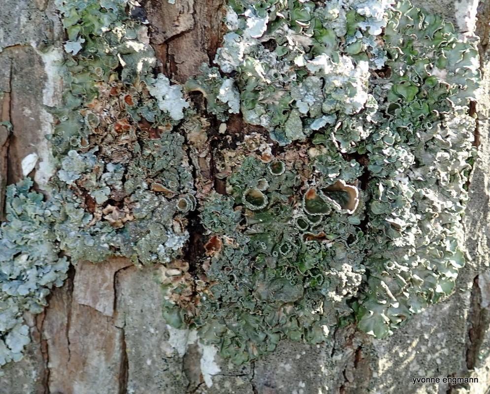 Stor Skållav (Pleurosticta acetabulum)