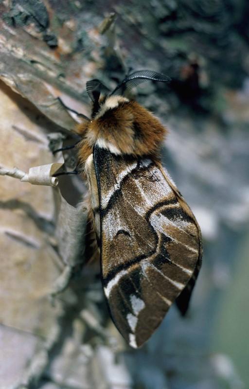Foto/billede af Birkespinder (Endromis versicolora)