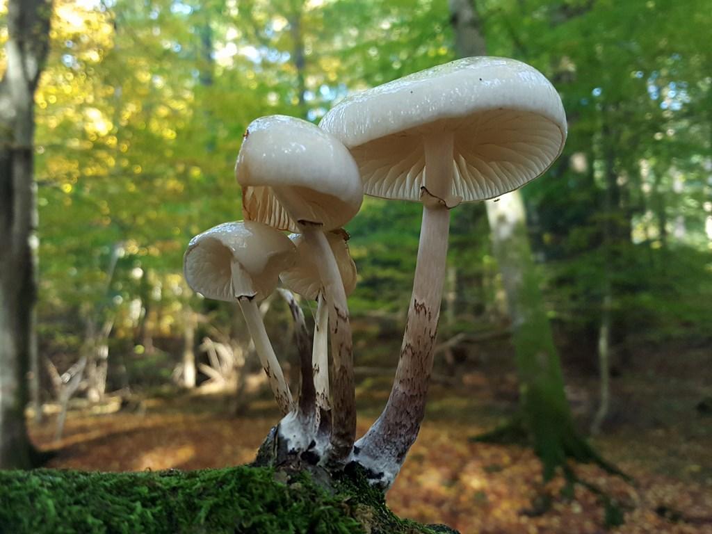Foto/billede af Porcelænshat (Oudemansiella mucida)