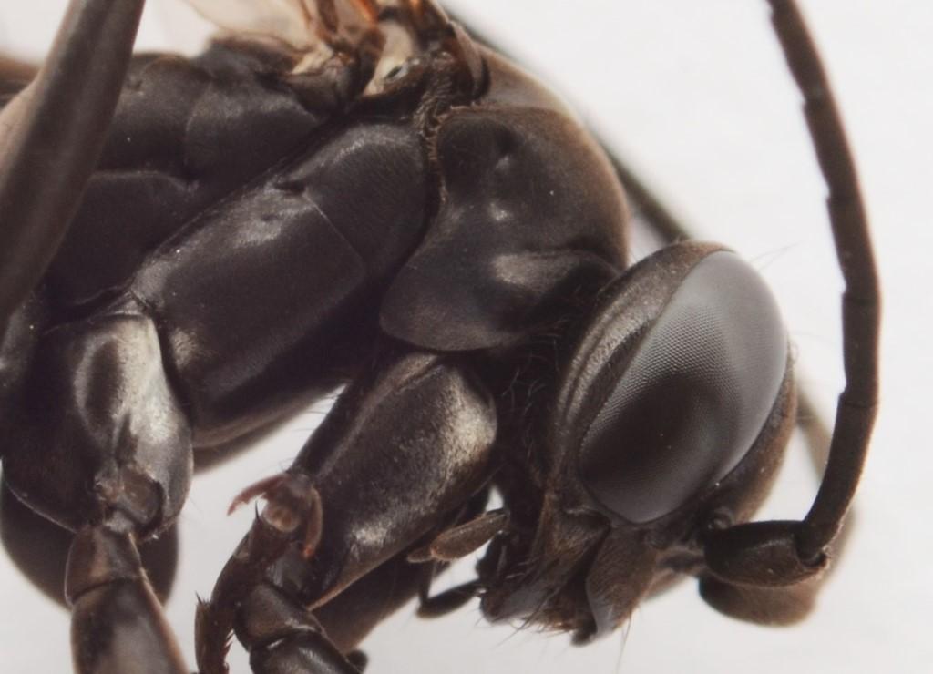 Anoplius nigerrimus