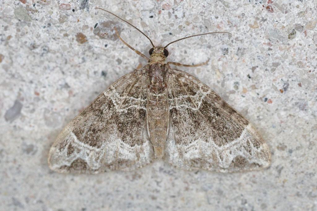Foto/billede af Broget Havemåler (Eulithis prunata)