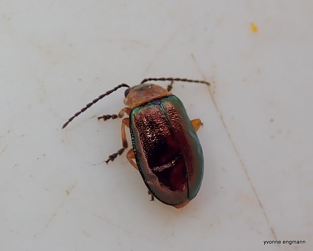 Sermylassa halensis (Sermylassa halensis)