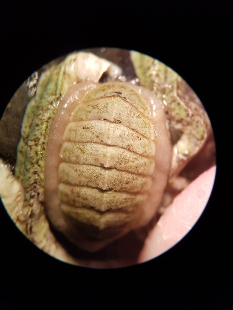 Foto/billede af Variabel Skallus (Lepidochitona cinerea)