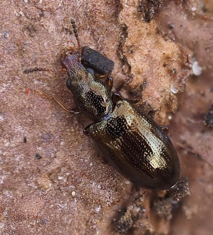 Foto/billede af Salpingus planirostris (Salpingus planirostris)