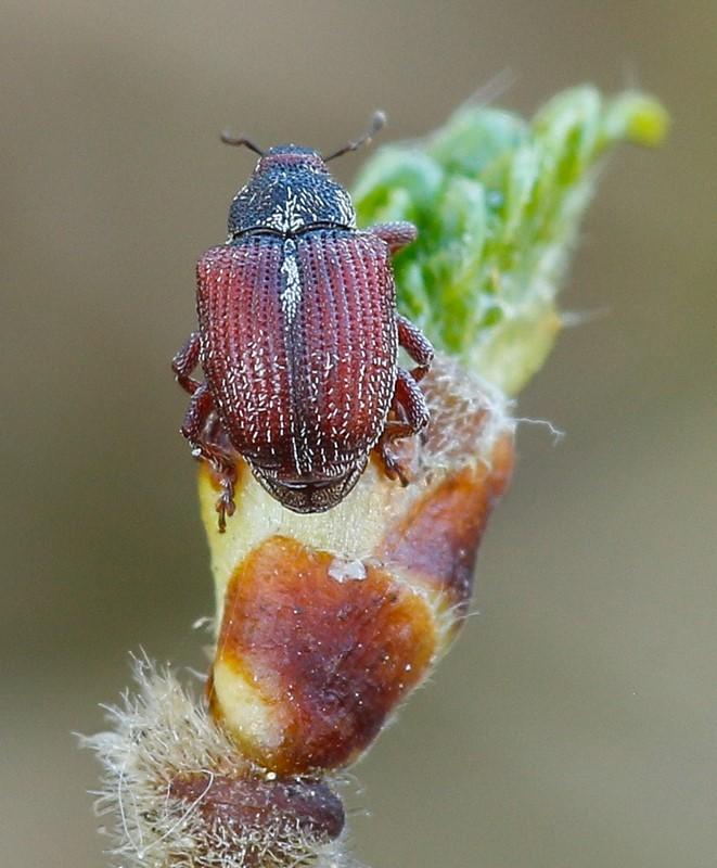 Coeliodinus nigritarsis