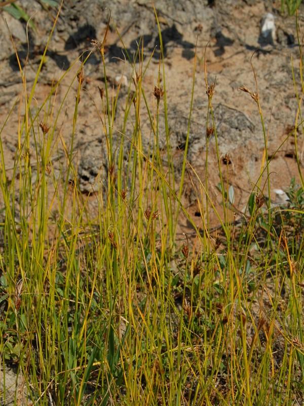 Foto/billede af Brun Næbfrø (Rhynchospora fusca)