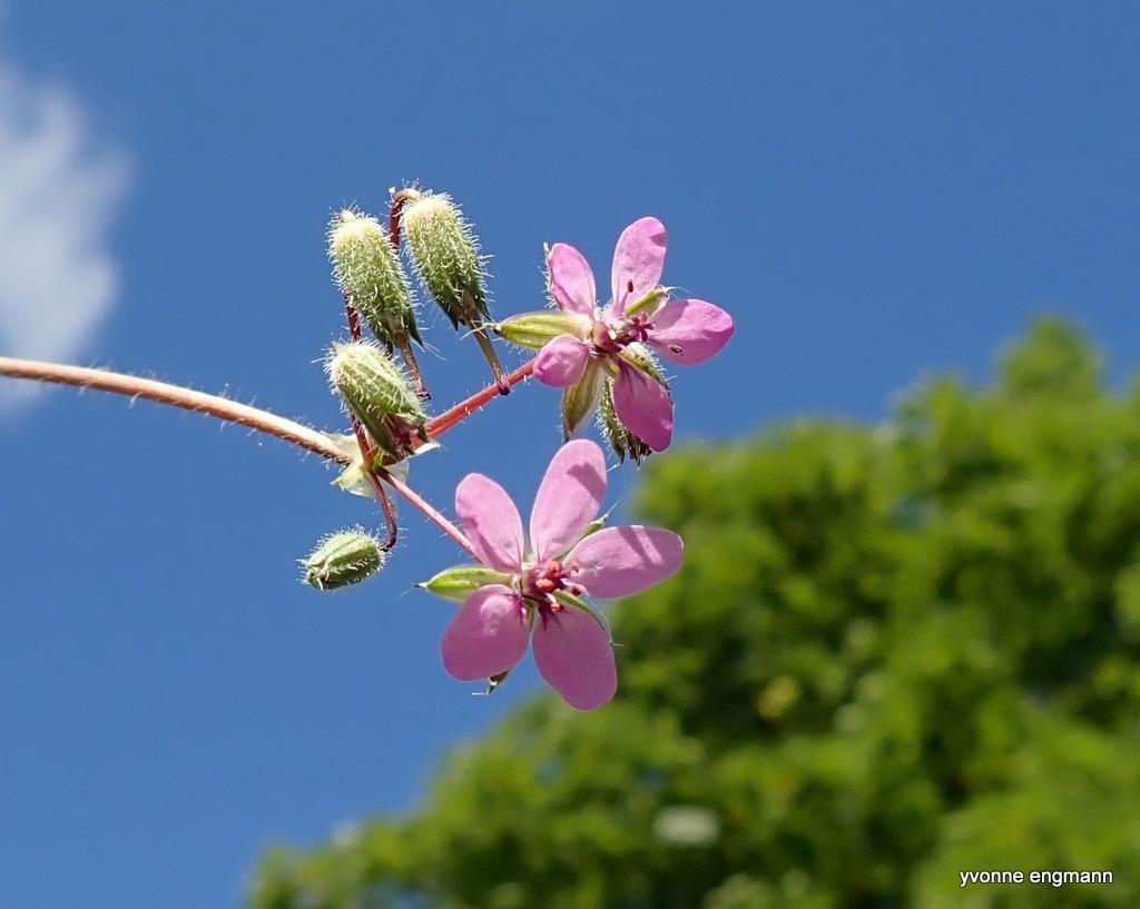 Hejrenæb (Erodium cicutarium)