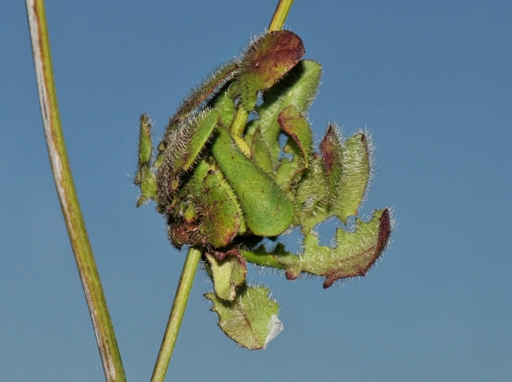 Foto/billede af Almindelig kongepen (Hypochoeris radicata)