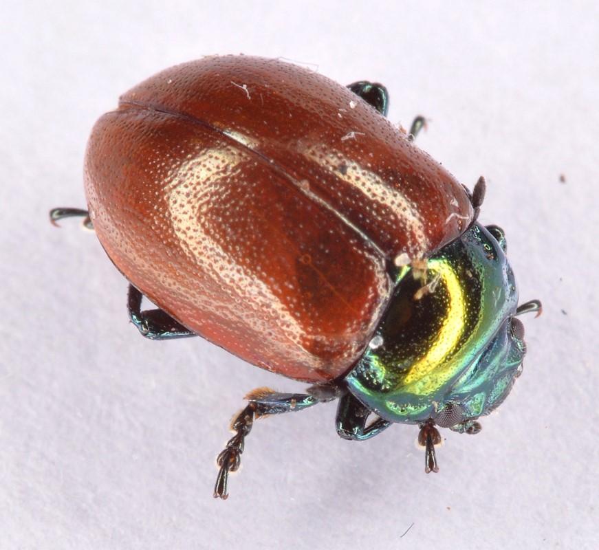 Foto/billede af Forskelligfarvet Guldbille (Chrysolina polita)