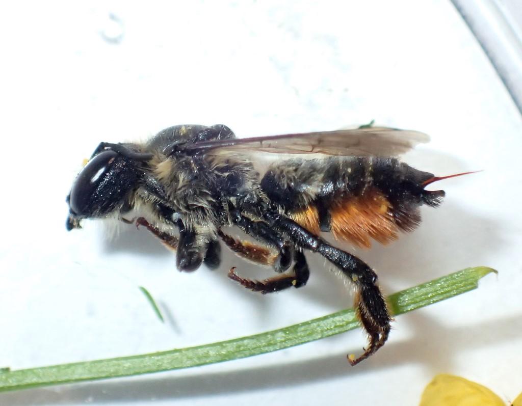Flerfarvet Bladskærerbi (Megachile versicolor)
