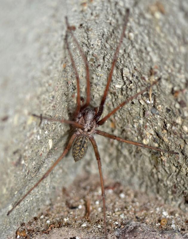 Foto/billede af Stor husedderkop (Eratigena atrica)