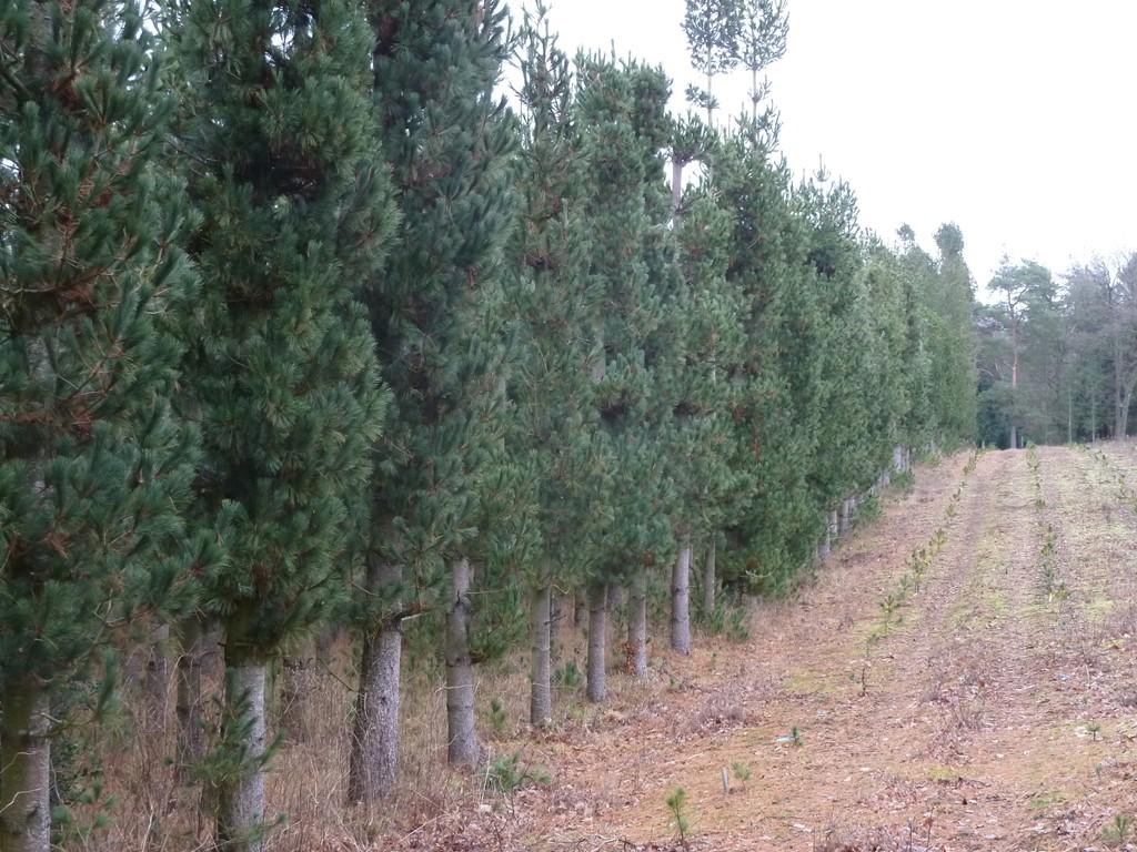 Foto/billede af Weymouths-Fyr (Pinus strobus)
