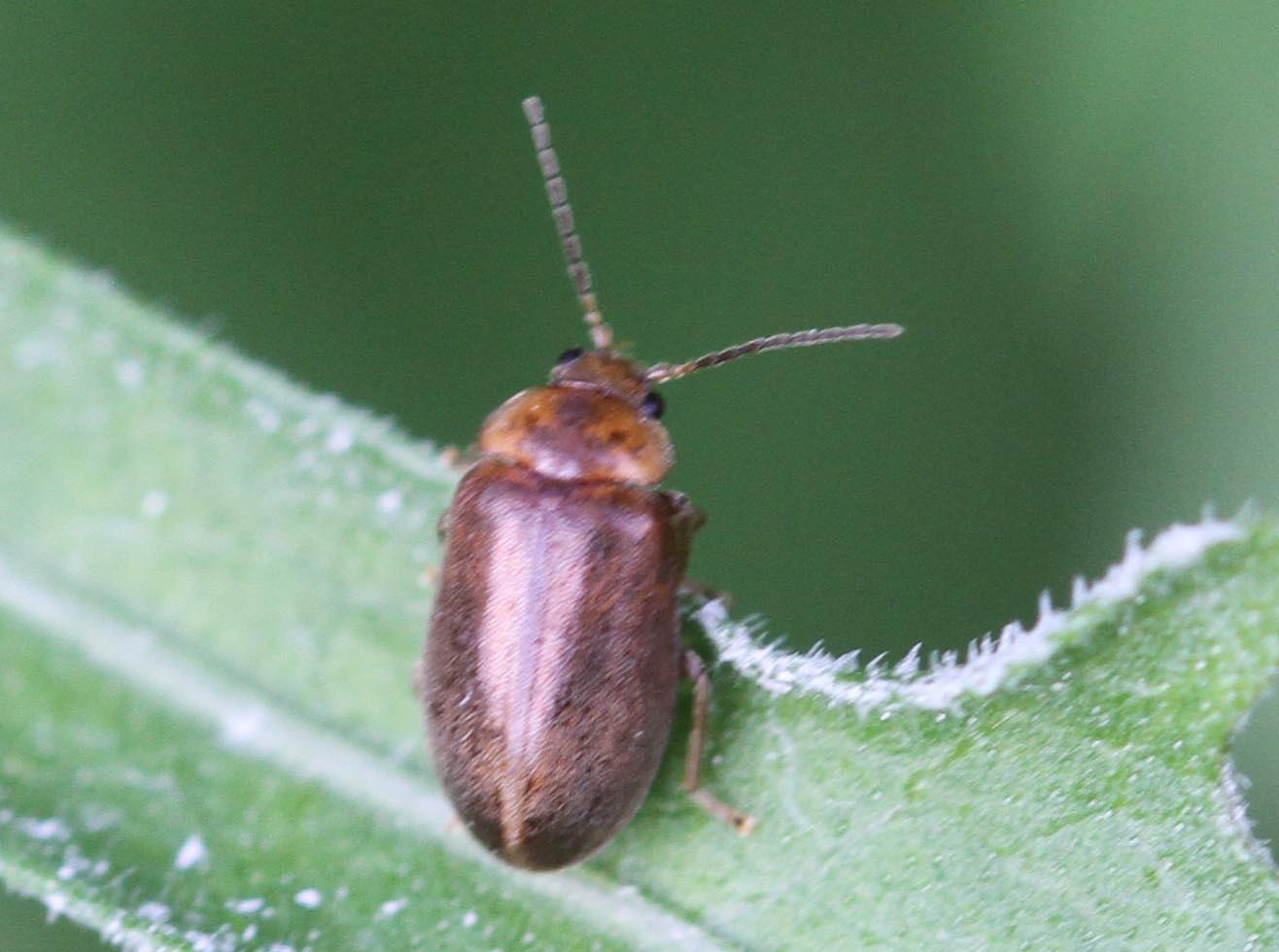 Foto/billede af Stor Sumpbille (Microcara testacea)
