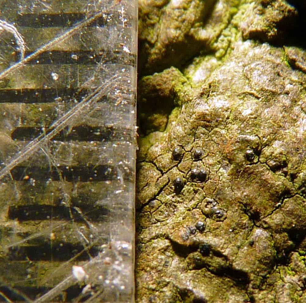 Indsænket Kernelav (Pyrenula chlorospila)