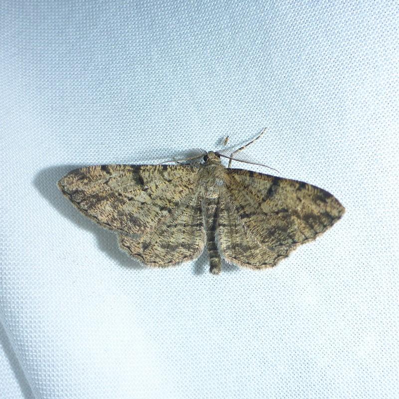 Foto/billede af Frugttræ-Barkmåler (Peribatodes rhomboidaria)