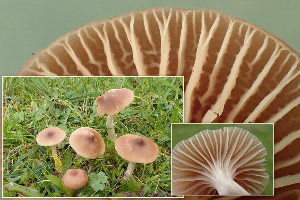 Foto/billede af Rødbrun Vokshat (Cuphophyllus colemannianus)