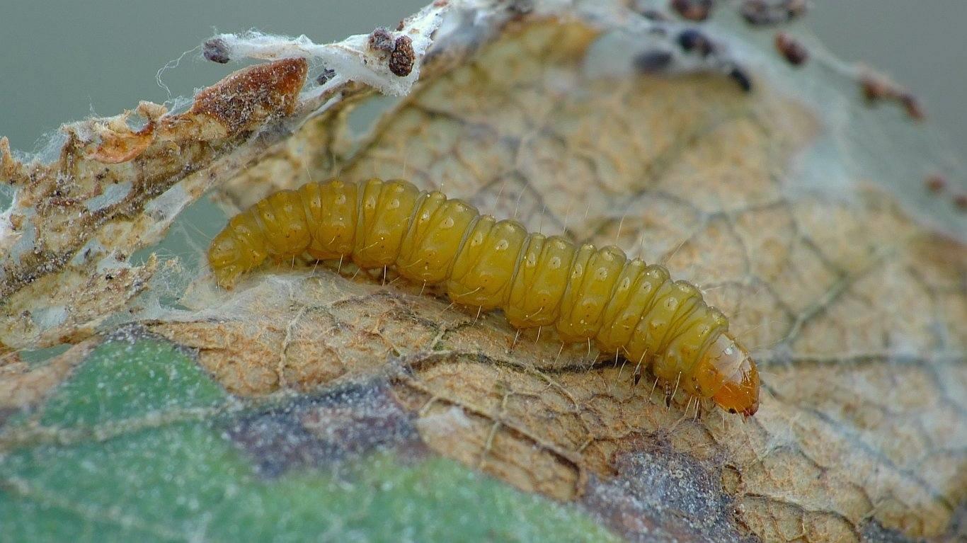 Ancylis tineana