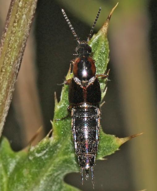 Foto/billede af Philonthus marginatus (Philonthus marginatus)