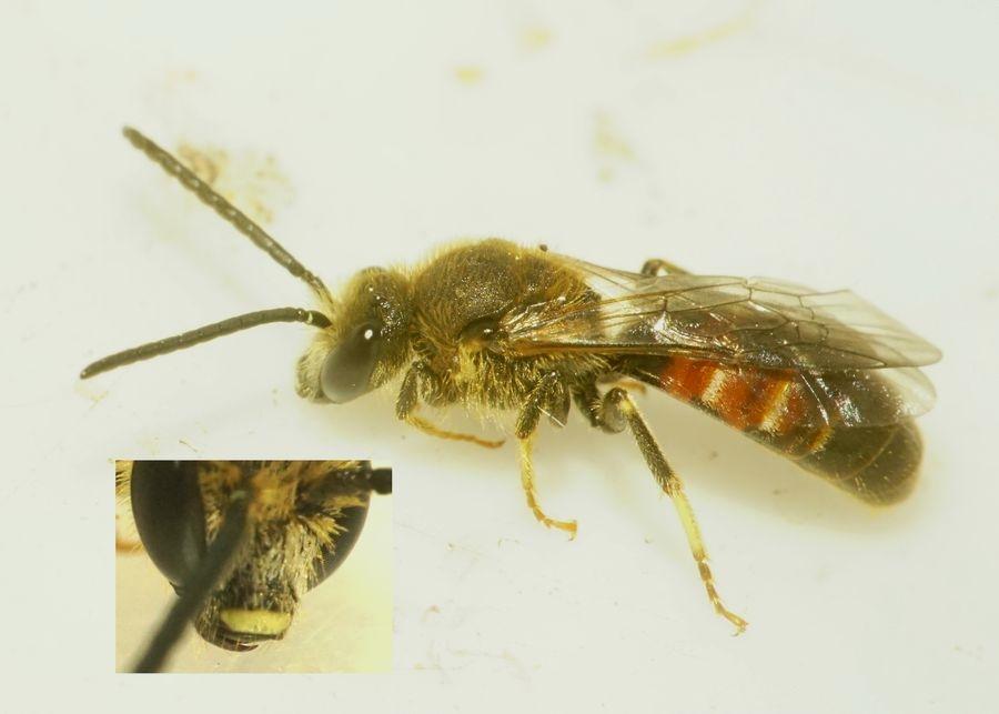 Foto/billede af Moskussmalbi (Lasioglossum calceatum)